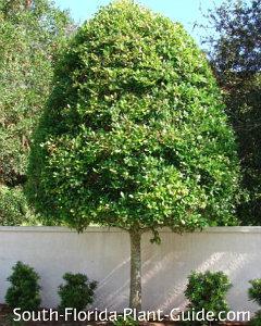 East Palatka holly tree trimmed as 'lollipop'