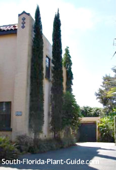 italian cypress by the side of a tall house