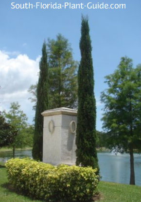 pair of Italian cypress trees by a pond