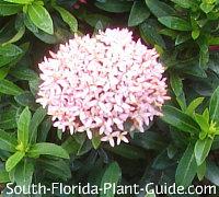 Dwarf pink flower