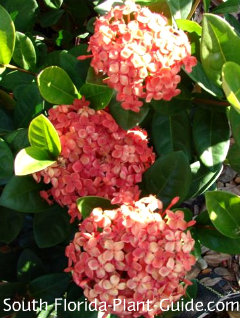 red maui ixora flowers