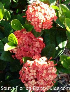 Dwarf ixora 'Red Maui' flowers