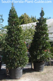 Trees in 25 gallon containers at nursery