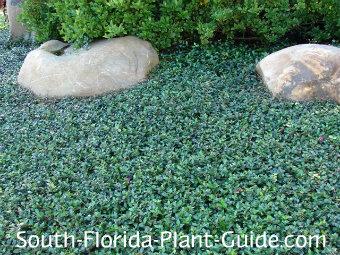 Asiatic jasmine surrounding landscape boulders