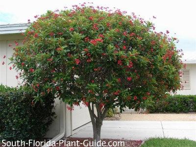 Jatropha tree in bloom beside a garage
