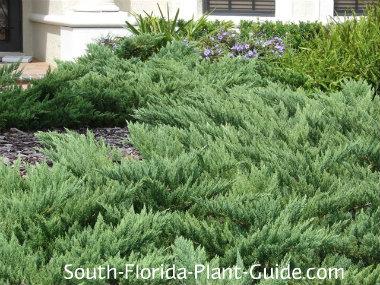Parsonii juniper fills a garden bed