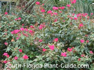Red Bush In Full Bloom