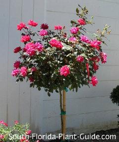 Red flowering standard