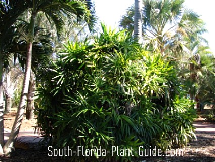 lady palm surrounded by other palm trees