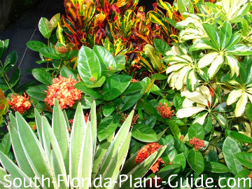 Agave, 'Mammy' croton, variegated arboricola and red maui ixora