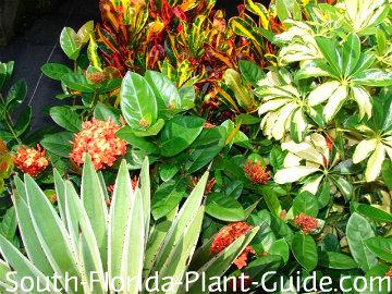 Agave, U0027Mammyu0027 Croton, Variegated Arboricola And Red Maui Ixora
