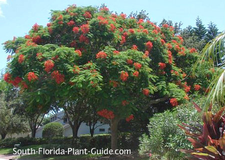 Royal poinciana tree in bloom