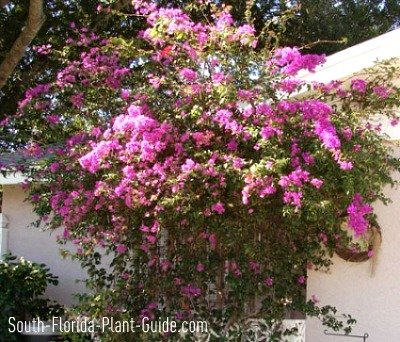 Large purple bougainvillea beside a house