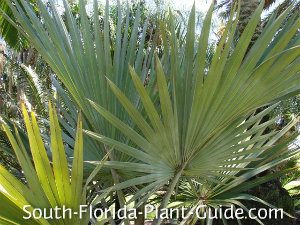 close-up of young blue latania palm fronds