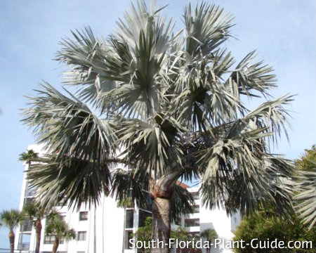 mature latania palm