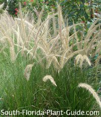 Ornamental Grasses Florida Ornamental grasses white fountain grass striking and unusual florida ornamental workwithnaturefo