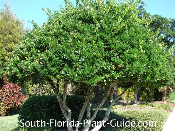 green ligustrum tree