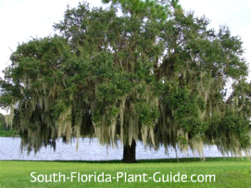 Large live oak tree with Spanish moss beside a pond