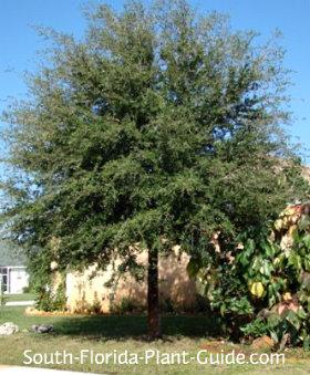 Young live oak tree beside a house