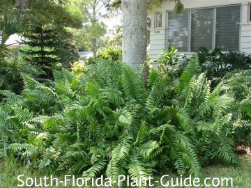 Macho ferns in a landscape