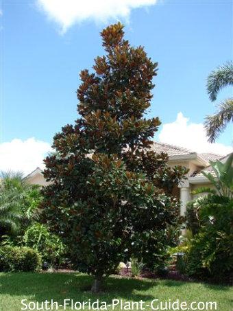 D.D. Blanchard magnolia tree