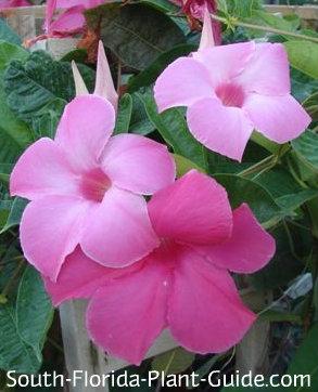 Pink mandevilla 'Alice duPont' flowers