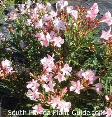 Dwarf oleander 'Petite Pink' flowers