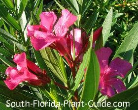 'Calypso Pink' flowers