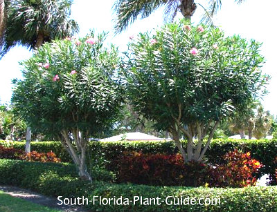 Oleander trees in a landscape