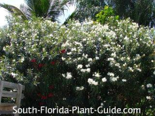 white oleanders in bloom