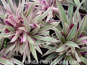 Variegated 'Tricolor' variety