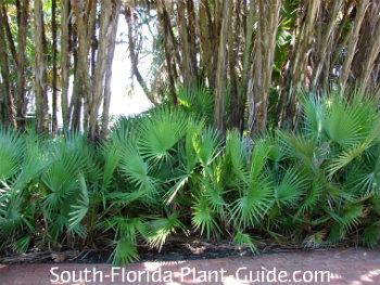 green palmettos