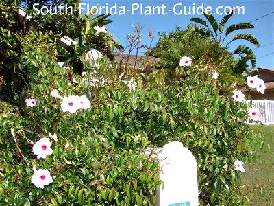 pandora vine blooms around a mialbox