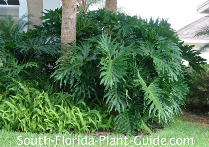 Philodendron selloum in a home landscape with palms and ferns