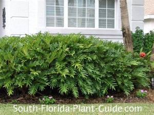 Xanadu philodendron growing as a foundation plant