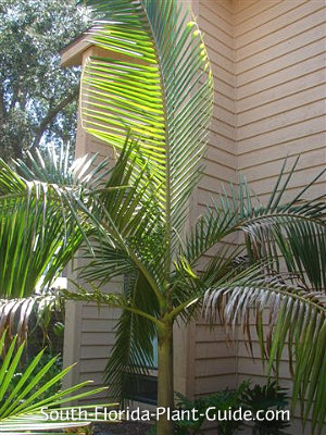 Young piccabeen palm's fronds