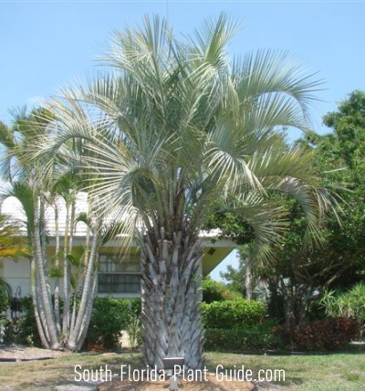 Large pindo palm in a home landscape