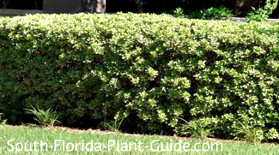 Variegated pittisporum hedge