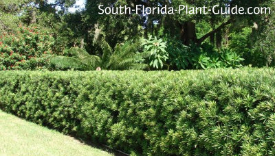 Podocarpus for Hardy low maintenance shrubs
