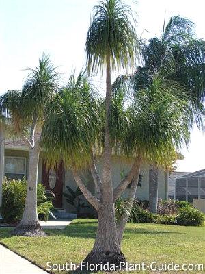 mature ponytail palms
