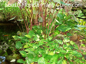 golden pothos as a groundcover by a pond