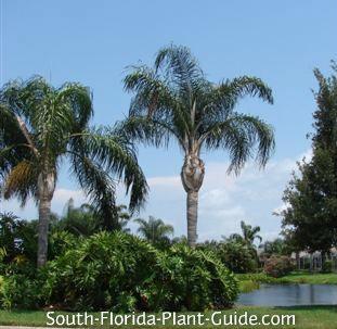queen palms near a lake