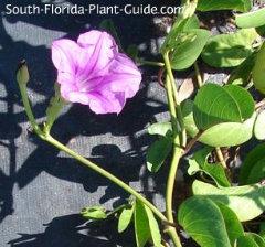 railroad vine flower