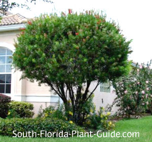 Red cluster bottlebrush tree at corner of a house