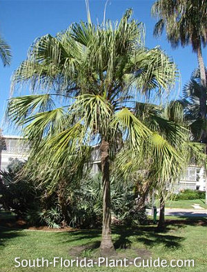 ribbon fan palm with fronds blowing in the breeze