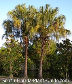 mature ribbon fan palms