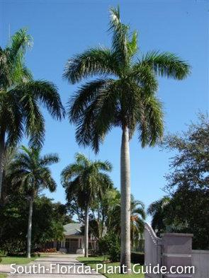 royal palms lining a large driveway