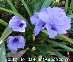 dwarf Mexican petunia purple flowers