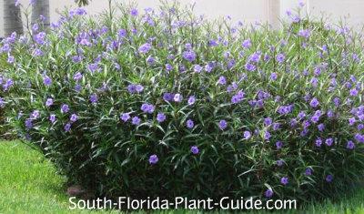 Ruella for Grass like flowering plants