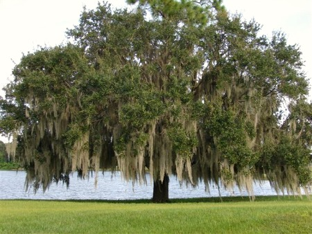 Large live oak with Spanish moss by water